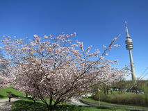 Beautiful cherry blossom in Munich's Olympic Park Stock Photo