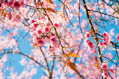 Beautiful cherry blossom in the northern of Thailand Royalty Free Stock Photos
