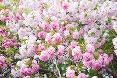 Beautiful Cherry blossom , pink sakura flower royalty free stock images