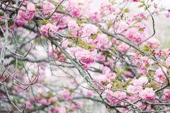 Beautiful Cherry blossom , pink sakura flower royalty free stock photography