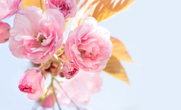 Beautiful Cherry Stock Photography
