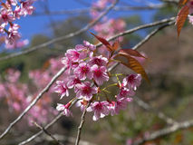 Beautiful Cherry blossom , Pink sakura flower Stock Photography