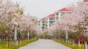 Beautiful Cherry blossom , pink sakura flowers against buildings Royalty Free Stock Photo