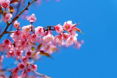 Beautiful cherry blossom, pink sakura flowers with blue sky in spring. Stock Images