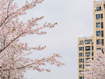 Beautiful Cherry blossom , pink sakura flowers Stock Photography