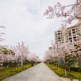 Beautiful Cherry blossom , pink sakura flowers Royalty Free Stock Image