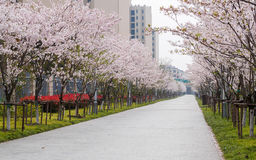 Beautiful Cherry blossom , pink sakura flowers Stock Images