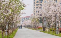 Beautiful Cherry blossom , pink sakura flowers Stock Photo