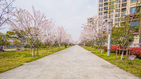 Beautiful Cherry blossom , pink sakura flowers Royalty Free Stock Photo