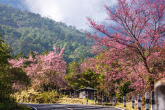 Beautiful cherry blossom road in tropical forest Royalty Free Stock Image
