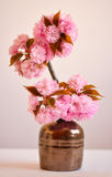 Beautiful cherry blossom rose flowers Royalty Free Stock Photography