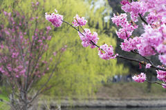 Beautiful cherry blossom sakura for background Royalty Free Stock Photography