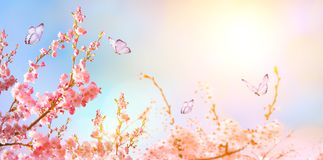 Beautiful cherry blossom sakura with butterfly in spring time over blue sunny sky. Panoramic view. Copy space royalty free stock photos
