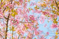 Beautiful cherry blossom (Sakura), Chiang Mai, Thailand Royalty Free Stock Images