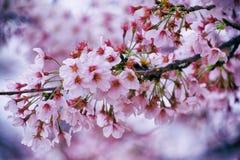 Beautiful cherry blossom sakura Royalty Free Stock Image