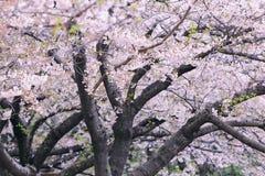 Beautiful cherry blossom sakura Royalty Free Stock Images