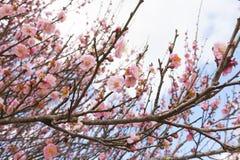 Beautiful Cherry Blossom or Sakura flower Royalty Free Stock Photos