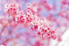 Beautiful Cherry Blossom or Sakura flower background. Soft focus Royalty Free Stock Images