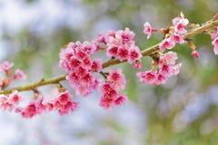 Beautiful Cherry Blossom or Sakura flower background. Soft focus Stock Images