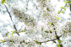 Beautiful Cherry blossom. Sakura flowers Stock Images