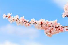 Beautiful cherry blossom , sakura in spring time . Beautiful cherry blossom , sakura flowers in spring time stock photo
