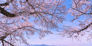 Beautiful Cherry blossom sakura in full bloom over blue sky background in spring time. Cherry blossom will start blooming around the late March in Japan, Many royalty free stock photo