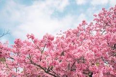 Free Beautiful Cherry Blossom Sakura In Spring Time Over Blue Sky. Stock Photo - 88242400