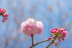 Beautiful cherry blossom sakura at Japan Mint Stock Images