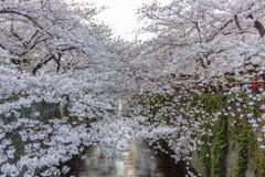 Beautiful Cherry Blossom Sakura at Meguro River in Tokyo Japan. During spring season stock image