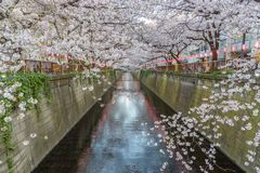 Beautiful Cherry Blossom Sakura at Meguro River in Tokyo Japan. During spring season royalty free stock images