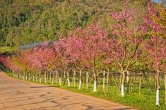 Beautiful cherry blossom sakura in spring time. At changmai Thailand stock photo