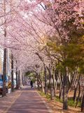 Beautiful cherry blossom sakura in spring royalty free stock images