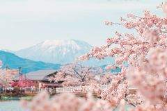 Beautiful cherry blossom or sakura in spring time with blue sky background in Japan. Beautiful cherry blossom or sakura in spring time with blue sky  background stock photo