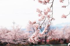 Beautiful cherry blossom or sakura in spring time with blue sky background in Japan. Beautiful cherry blossom or sakura in spring time with blue sky  background stock image