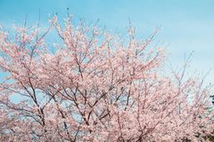 Beautiful cherry blossom or sakura in spring time with blue sky background in Japan. Beautiful cherry blossom or sakura in spring time with blue sky  background royalty free stock photo