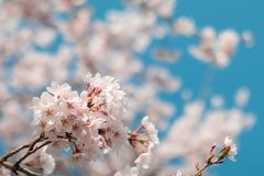 Beautiful cherry blossom sakura in spring time with blue sky background in Japan. Beautiful cherry blossom sakura in spring time with blue sky  background in stock photos