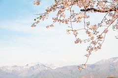 Beautiful cherry blossom or sakura in spring time with blue sky background in Japan. Beautiful cherry blossom or sakura in spring time with blue sky  background royalty free stock photos