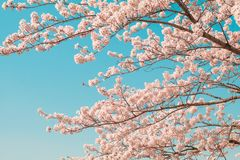 Beautiful cherry blossom sakura in spring time with blue sky background in Japan. Beautiful cherry blossom sakura in spring time with blue sky  background in royalty free stock images