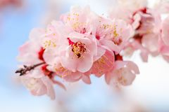 Beautiful cherry blossom , sakura in spring time . Beautiful cherry blossom , sakura flowers in spring time Royalty Free Stock Photo