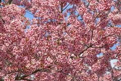 Beautiful cherry blossom sakura in spring time over blue sky.  stock image