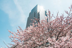 Beautiful cherry blossom sakura in spring time over blue sky. Royalty Free Stock Photos