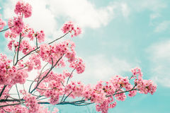 Beautiful cherry blossom sakura in spring time over blue sky. Stock Photography