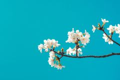 Beautiful cherry blossom sakura in spring time over blue sky. Beautiful cherry blossom sakura in spring time over blue sky stock photo