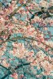 Beautiful cherry blossom sakura in spring time over blue sky stock photo
