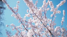 Beautiful cherry blossom sakura in spring. Beautiful cherry blossom sakura in spring time over blue sky. movement with the wind stock footage