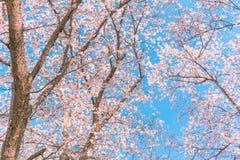 Beautiful cherry blossom or sakura in spring time . stock photos