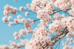 Beautiful cherry blossom sakura in spring time with sky background in Japan. Beautiful cherry blossom sakura in spring time with sky  background in Japan royalty free stock photo