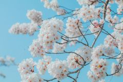 Beautiful cherry blossom sakura in spring time with sky background in Japan. Beautiful cherry blossom sakura in spring time with sky  background in Japan stock photo