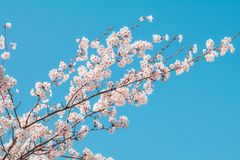 Beautiful cherry blossom sakura in spring time with sky background in Japan. Beautiful cherry blossom sakura in spring time with sky  background in Japan royalty free stock image