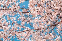 Beautiful cherry blossom sakura in spring time with sky background in Japan. Beautiful cherry blossom sakura in spring time with sky  background in Japan stock image
